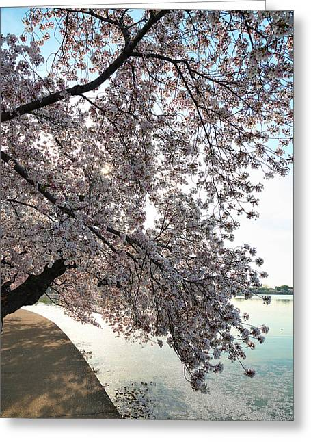 Cherry Blossoms 2013 - 092 Greeting Card
