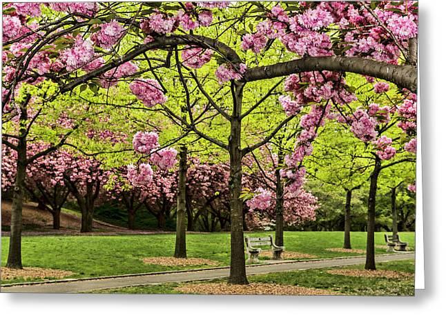 Cherry Blossoms Along Cherry Esplanade Greeting Card