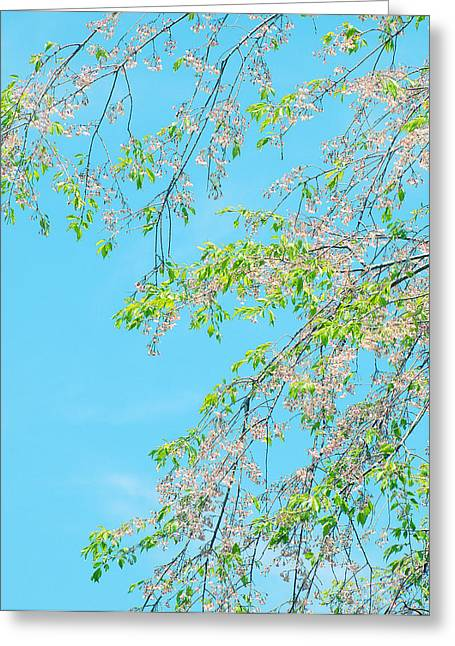 Greeting Card featuring the photograph Cherry Blossoms Falling by Rachel Mirror