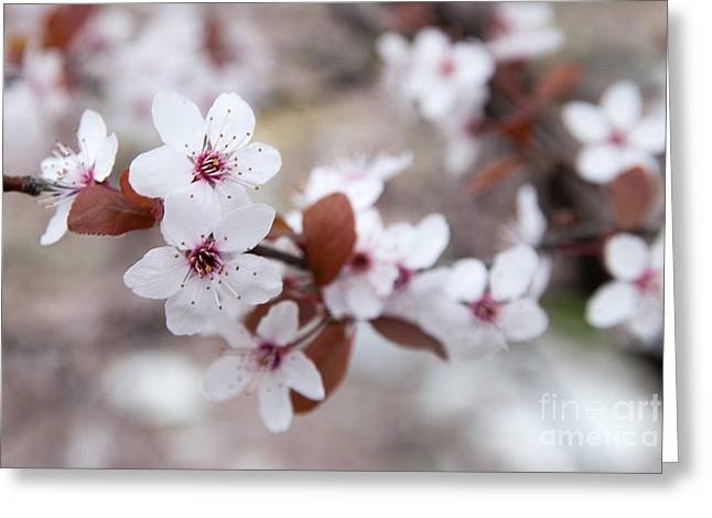 Cherry Blossoms Greeting Card by Hannes Cmarits