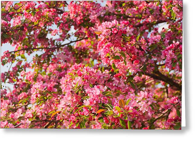 Cherry Blossoms In Washington D.c. Greeting Card by Mitchell R Grosky