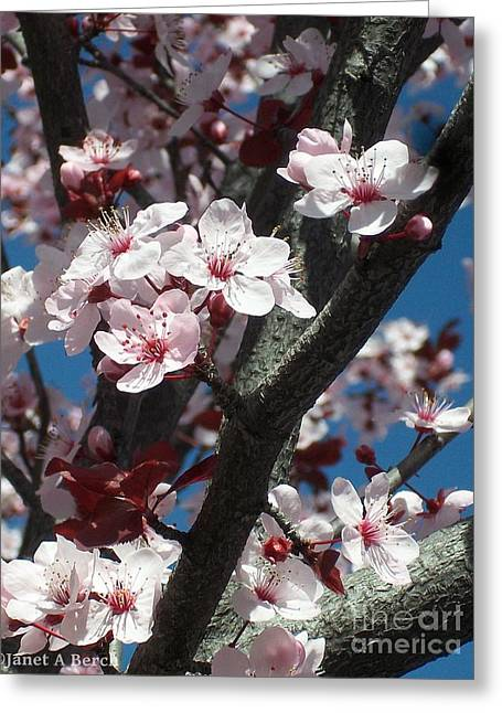 Cherry Blossoms Greeting Card by Janet Berch