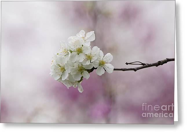 Cherry Blossoms - Out On A Limb Greeting Card