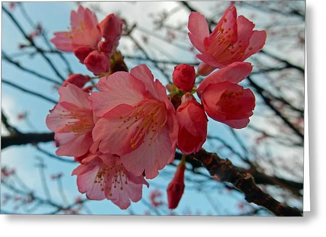 Cherry Blossoms Greeting Card by Pamela Walton