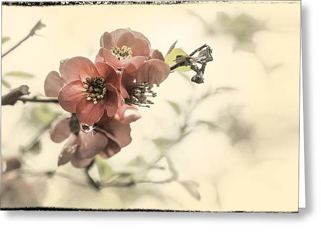 Greeting Card featuring the photograph Cherry Blossoms by Peter v Quenter