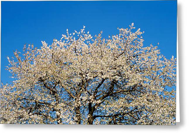 Cherry Blossoms, Switzerland Greeting Card by Panoramic Images