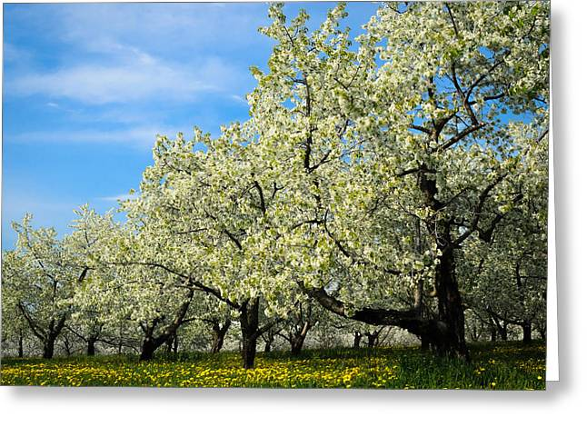 Cherry Blossoms Greeting Card by Thomas Pettengill