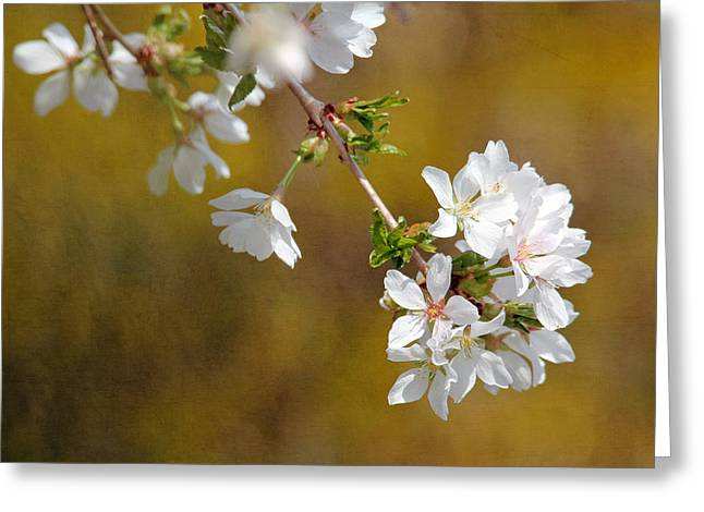 Greeting Card featuring the photograph Cherry Blossoms by Trina  Ansel