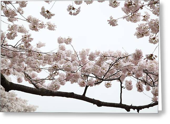 Cherry Blossoms - Washington Dc - 0113103 Greeting Card by DC Photographer