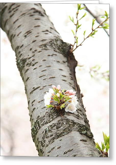 Cherry Blossoms - Washington Dc - 0113106 Greeting Card by DC Photographer