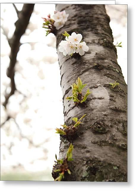 Cherry Blossoms - Washington Dc - 0113107 Greeting Card
