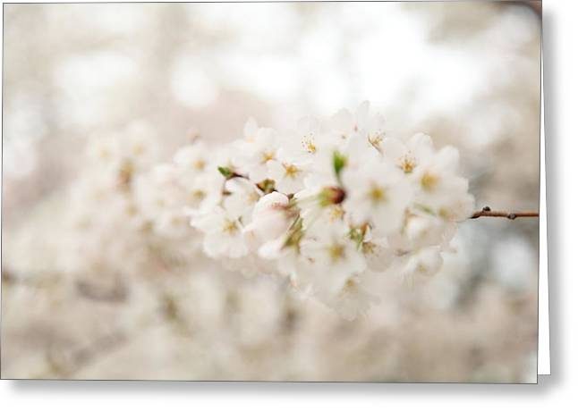 Cherry Blossoms - Washington Dc - 0113109 Greeting Card by DC Photographer
