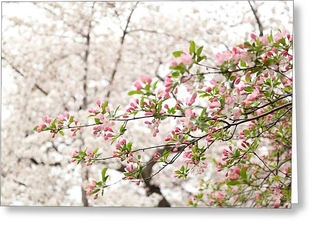 Cherry Blossoms - Washington Dc - 0113112 Greeting Card by DC Photographer