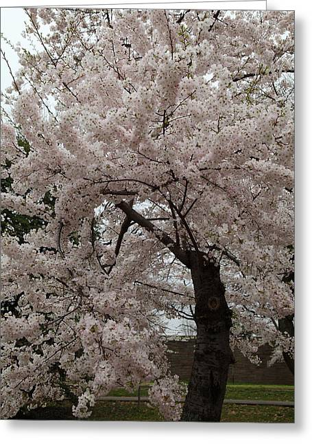 Cherry Blossoms - Washington Dc - 0113118 Greeting Card by DC Photographer
