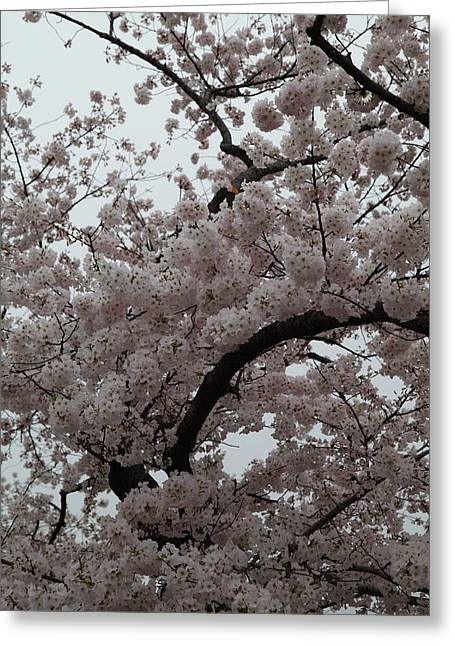 Cherry Blossoms - Washington Dc - 0113126 Greeting Card