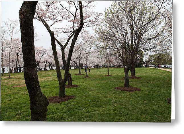 Cherry Blossoms - Washington Dc - 0113129 Greeting Card by DC Photographer