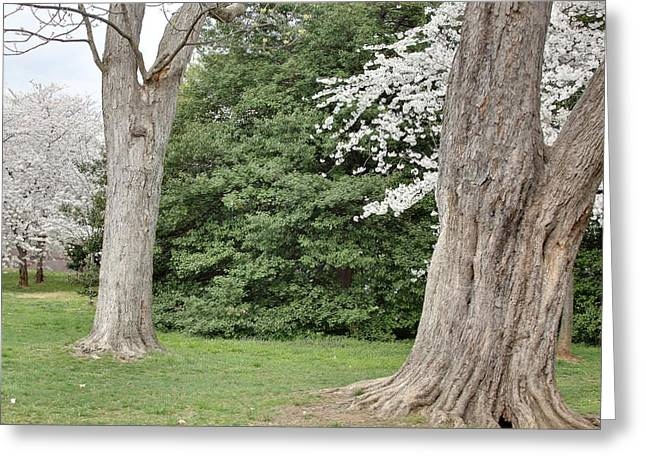 Cherry Blossoms - Washington Dc - 011350 Greeting Card by DC Photographer