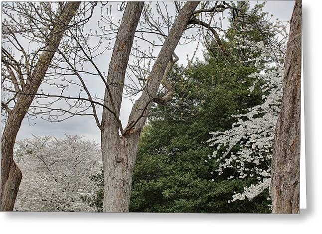 Cherry Blossoms - Washington Dc - 011353 Greeting Card by DC Photographer