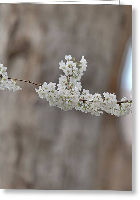 Cherry Blossoms - Washington Dc - 011355 Greeting Card by DC Photographer