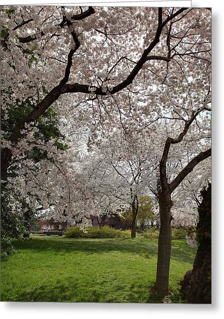 Cherry Blossoms - Washington Dc - 011369 Greeting Card by DC Photographer
