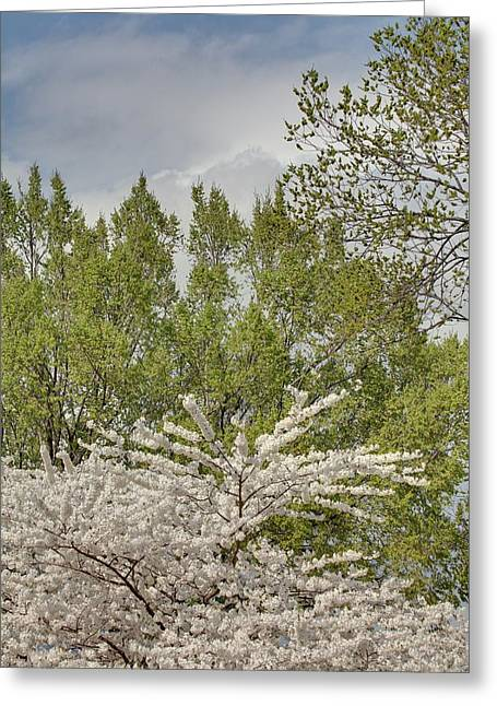 Cherry Blossoms - Washington Dc - 011388 Greeting Card by DC Photographer