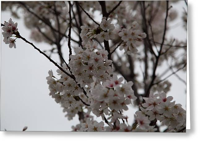 Cherry Blossoms - Washington Dc - 011393 Greeting Card by DC Photographer