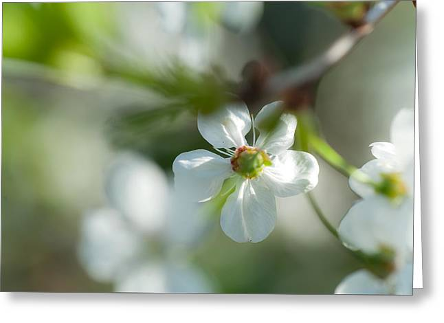 Cherry Blossom. Sunny Day Greeting Card