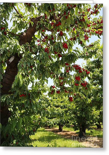 Cherry Orchard  Greeting Card by Carol Groenen