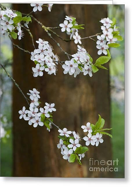 Cherry Plum Tree Blossom Greeting Card