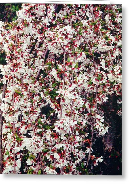 Cherry (prunus 'snow Showers') Greeting Card by Mrs W D Monks/science Photo Library