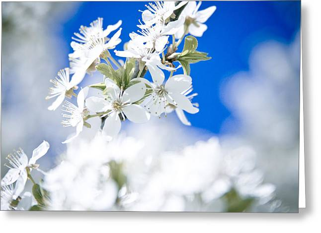 Cherry Tree Blossom  Greeting Card