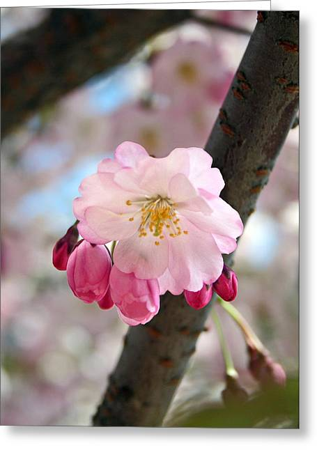 Cherry Tree Blossom Series 801 Greeting Card