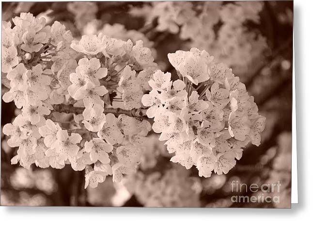 Cherry Tree Blossom Greeting Card