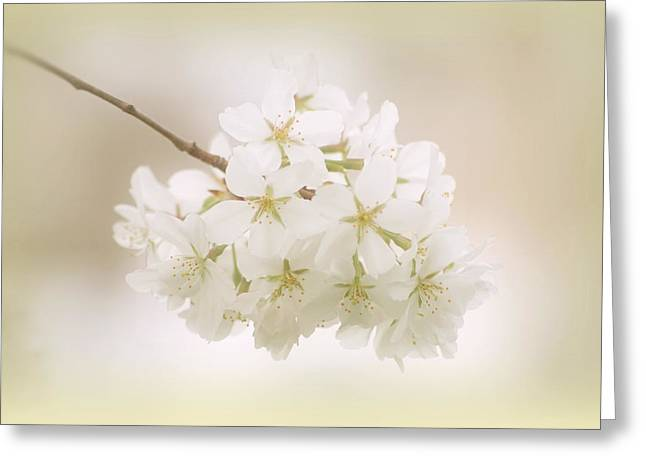 Cherry Tree Blossoms Greeting Card by Sandy Keeton