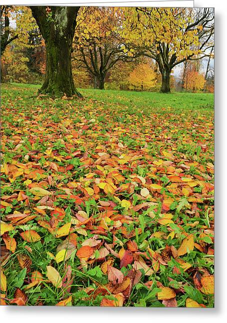 Cherry Tree Fall Colors In Orchard Greeting Card by Rolf Nussbaumer