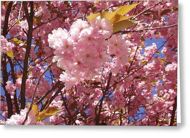 Cherry Trees Blossom Greeting Card