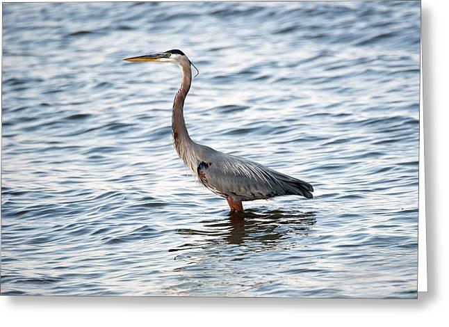 Chesapeake Bay Blue Heron Greeting Card