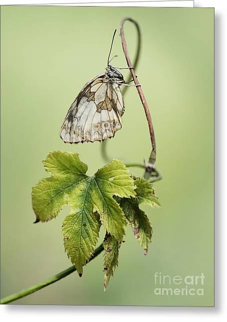 Chessboard Butterfly On A Green Wine Branch Greeting Card by Jaroslaw Blaminsky