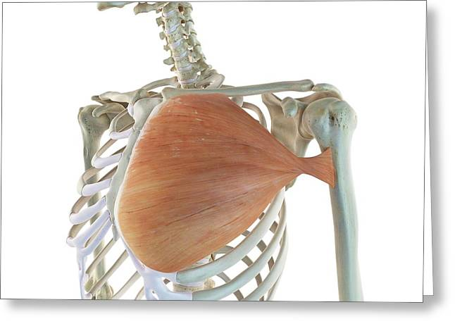 Chest Muscle Greeting Card