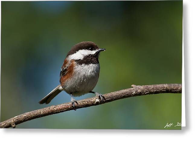 Chestnut Backed Chickadee Perched On A Branch Greeting Card