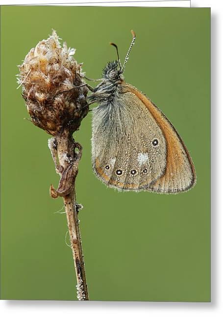 Chestnut Heath Butterfly Greeting Card by Heath Mcdonald