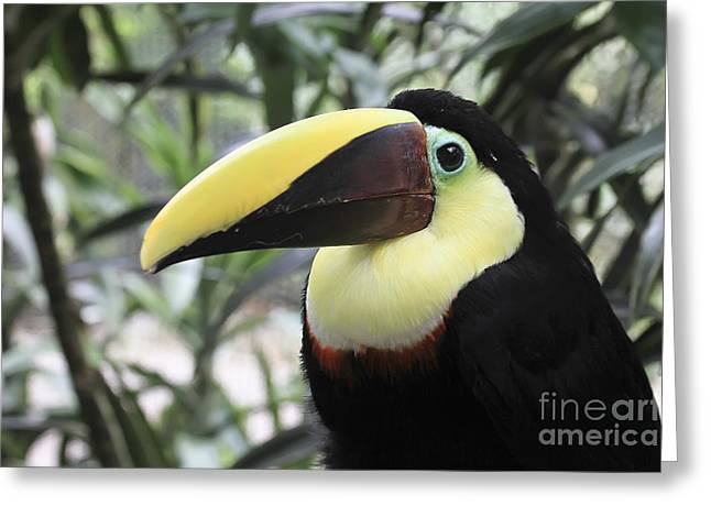 Chestnut-mandibled Toucan Greeting Card by Teresa Zieba