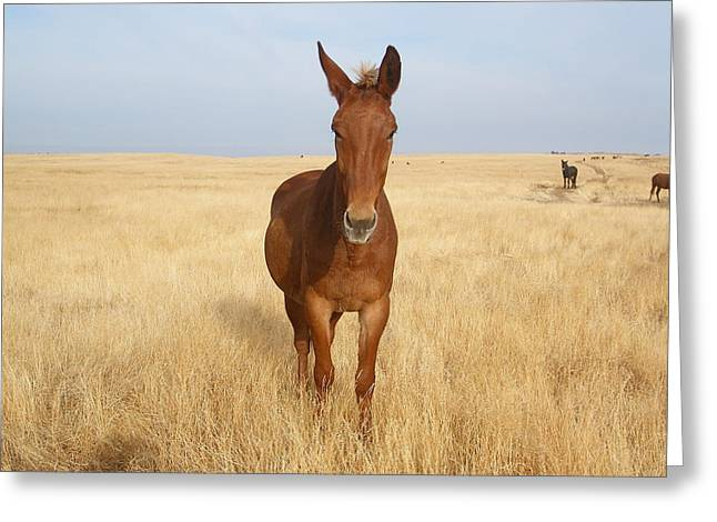 Chestnut Mule In Gold Greeting Card