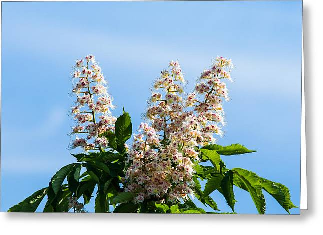 Chestnut Tree Blossoms - Featured 2 Greeting Card by Alexander Senin