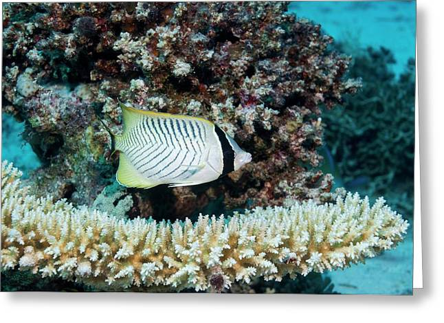 Chevron Butterflyfish Greeting Card by Georgette Douwma