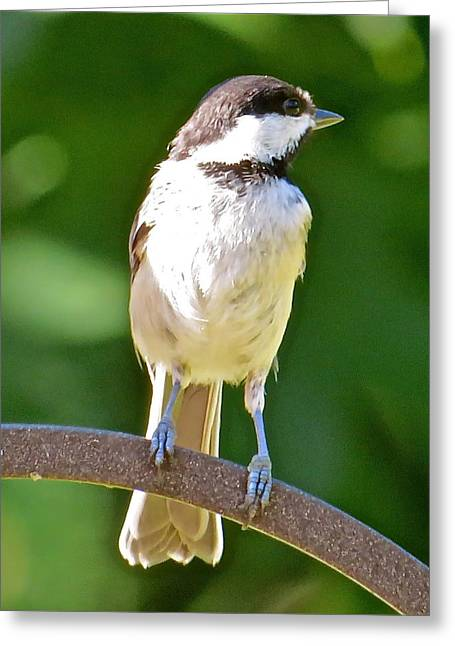 Chickadee 101 Greeting Card by Patsy Pratt