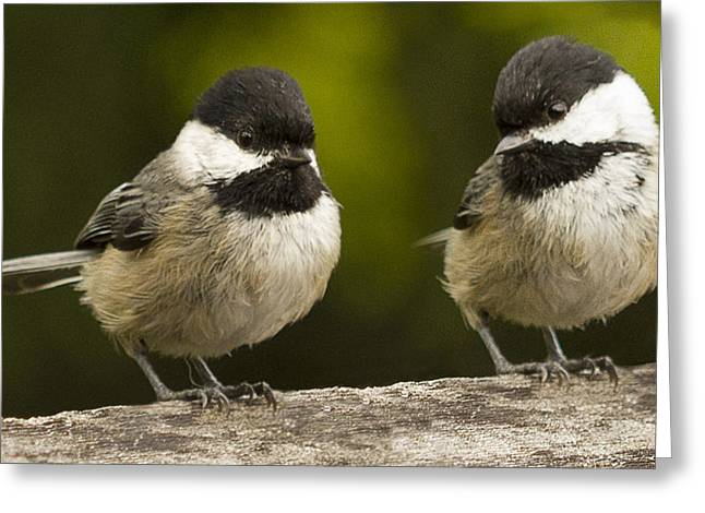 Chickadee Dee Dee Greeting Card by Jean Noren
