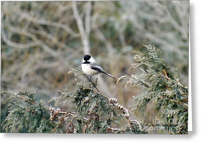 Greeting Card featuring the photograph Chickadee In Cedar by Brenda Brown