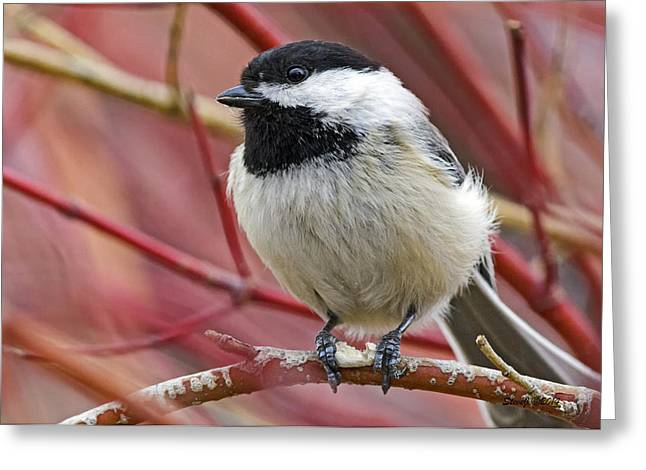 Chickadee In Red Twig Dogwood Greeting Card by Stephen  Johnson