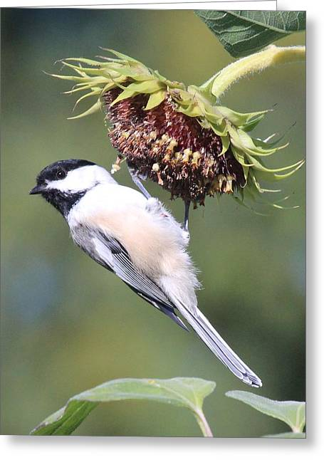Chickadee On Sunflower Greeting Card